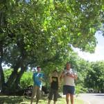 Tamanu Tree